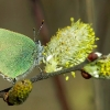 green-hairstreak-220-3w.jpg
