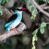 bluebrkingfisher_df0493www.jpg