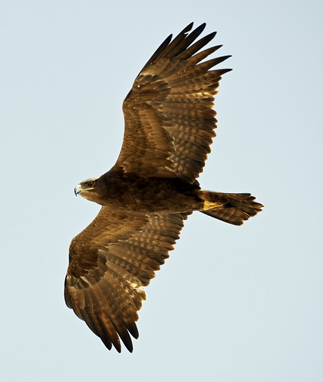 Adult Steppe Eagle. Note the sparse barring to secondaries. Eilat, Israel, Nov 6th, 2009