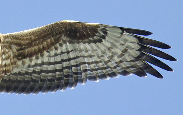 The underwing of another, slightly more marked juvenile Honey-buzzard. Although the flight-feathers are lighter in this bird, note the sparse and heavy barring and the dusky secondaries.