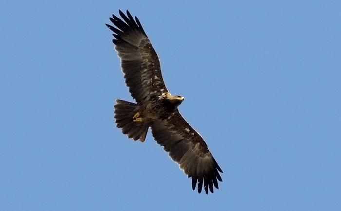 Aquila sp.