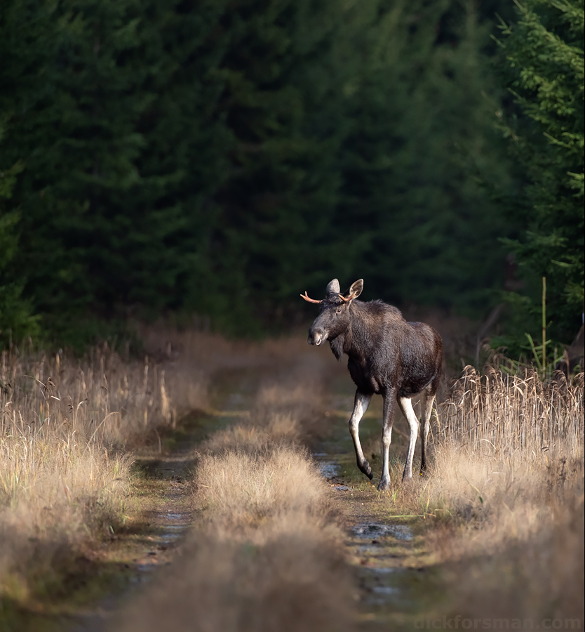 Not just birds. This young male Moose (or elk in Europe) appeared out of the forest and posed for a few seconds inn perfect light on the track before elegantly disappearing into the greenery on the opposite side. Hanko, S Finland, Oct 19th.