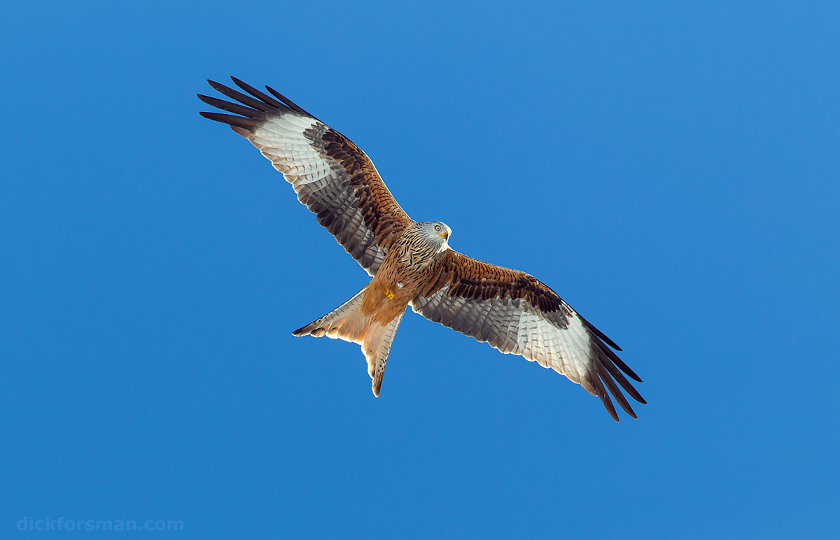 Light is everything! Came across this image of an adult Red Kite when going through my files for a piece on kite identification for the British birding magazine Birdwatch. Photographed against a clear blue sky high up in the clear air of the Spanish Pyrenees and well underlit by the sunlight bouncing back from the snow the conditions for in-flight pictures could not have been better. As such, a rather boring image of a bird in flight, but in this case the light makes all that difference. Spanish Pyrenees, November 2010.