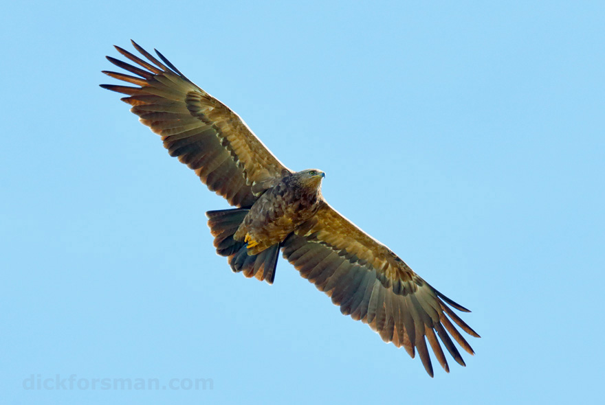 Adult female Lesser Spotted Eagle above its territory in SE Estonia, 4th of May 2015, for more check blog