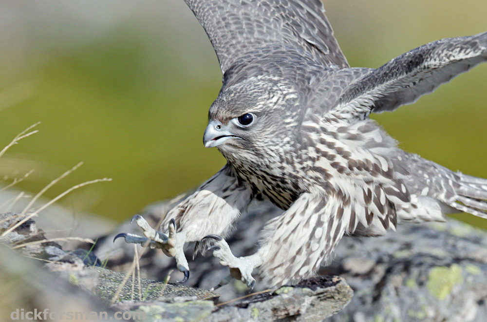 As close as one can get! A young Gyrfalcon is launching fake attacks at anything moving in order to hone its hunting skills prior to independence. Norway, July 2017.