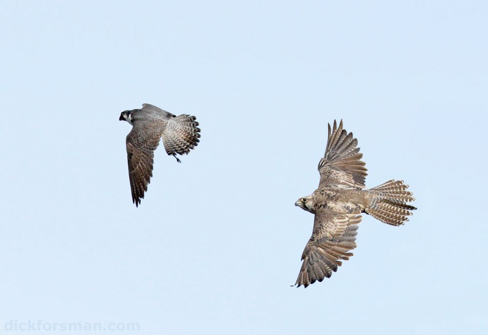 A once-in-a-lifetime situation. On a recent trip up north I found a perched 2nd cy female Gyr clearly on the lookout for something to eat. I watched her for quite some time when she suddenly got very alert and sleek and then took off. I could hear skuas giving the excited alarm calls as I was following the Gyr through my camera, hoping to get the mobbing skua and the Gyr in the same frame. Soon I saw something move in the upper corner of the viewfinder, an adult male Peregrine carrying prey! This was what the Gyr had set out for. In the blink of an eye the Gyr caught up with the Peregrine, which was clearly struggling with its relatively large prey (a presumed Golden Plover) and after a few twists the Peregrine let go of its quarry, which was immediately grabbed by the Gyr in mid-air! You would imagine that a female Gyr, weighing about twice as much as the male Peregrine, would be slow and clumsy, but it was an exploding pack of dynamite. Afterwards I checked the timing on my camera and it only took it 10 seconds from leaving its perch to outfly the Peregrine and steel its prey, truly unforgettable! Just now, too many things at hand to keep up with, but I hope to be back before too long with some more images from my recent trips up north. Stay tuned.