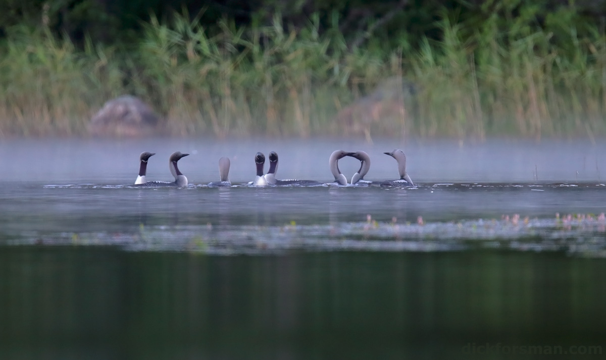 A party of Black-throated Divers Gavia arctica have assembled for a fishing and displaying session. These are non-breeding birds, either immatures or failed breeders, which connect on certain lakes for these social events. S Finland July 11th, 2014.