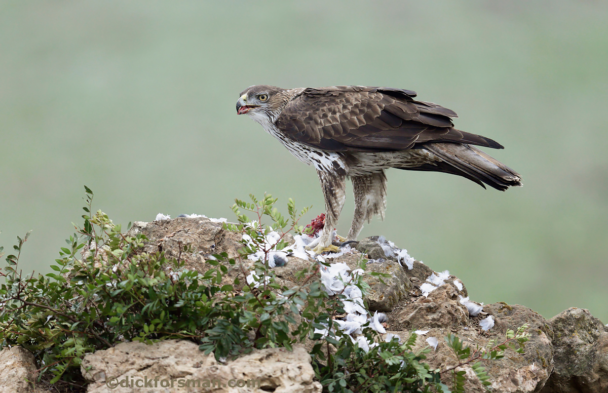 Adult male Bonelli's Eagle, one of my targets on a recent photo shooting tour to Andalucia, Spain.