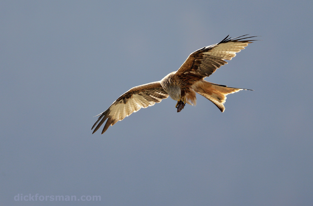 An adult Red Kite is nibbling at some food whilst skilfully maneuvering its flight. Read more about a recent trip to Spain in the blog.