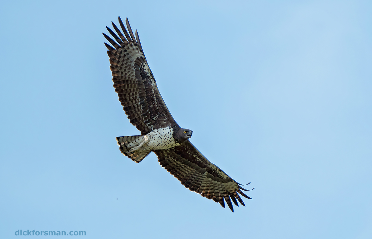 An adult Martial Eagle, Africa's largest eagle, soars on a wing-span of up to 2,5m over the savannah in Mole National park, Ghana, November 16, 2019. I spent two weeks in Ghana together with sound recordist Magnus Robb from The Sound Approach. We spent just over a week in Mole NP, in the northwestern corner of the country, where Magnus was targeting various owls and I was busy studying the local raptors. We recorded 31 species of diurnal raptors in all, including species like Ayre's and African Hawk-eagles, Ovambo Sparrowhawk and Ruppell's Vulture, the latter which is thought to be a rare vagrant in Ghana, but appears to be a regular visitor based on my own sightings from three trips to the park (the problem being that people don't know how to separate immature Ruppell's from immatures of the more common African White-backed Vulture).   After Mole we transferred to the coast around Accra, where different waders, such as the Greater Painted-snipe, were the targets.  Thanks to William Apraku, Jackson Owusu, Joseph Frimpong and Al Hassan Majeed for their friendship, help and expertise during the tour.