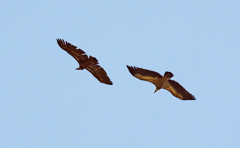 Immature Ruppell's left with immature Griffon. Note differences in general coloration and also in colour contrasts. 27th Oct, Pelayo, Algeciras.