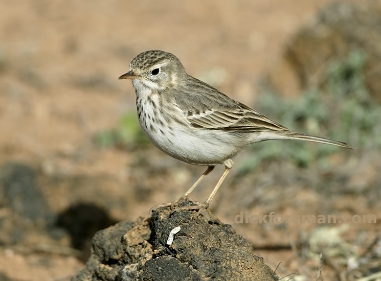 Berthelot's Pipit Anthus berthelotii, the most common and widespread of the endemics. Lanzarote, Dec17th,2011.