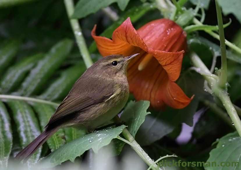 """Canary Islands Chiffchaff Phylloscopus canariensis, here feeding on an endemic """"bluebell"""" Canarias canariensis. Gran Canaria, Dec 13th,2011."""