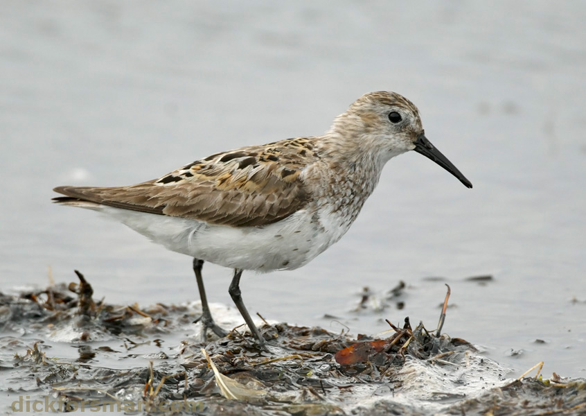 Dunlin, probably 1st summer. This bird got my heart racing, when I first saw it from a distance of 200 m, it looked so much like a Western Sandpiper! A most interesting and odd plumage, one I have never seen before. Aug 7th, Hanko, Finland.