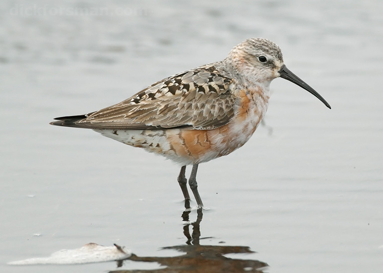 Adult Curlew Sandpiper moulting from breeding to winter plumage. Aug 7th, Hanko, Finland.