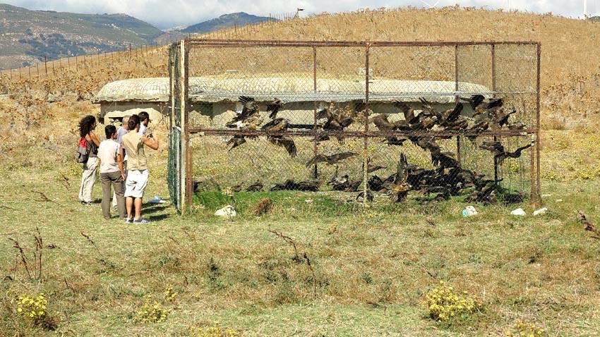 93 Black Kites in a cage!