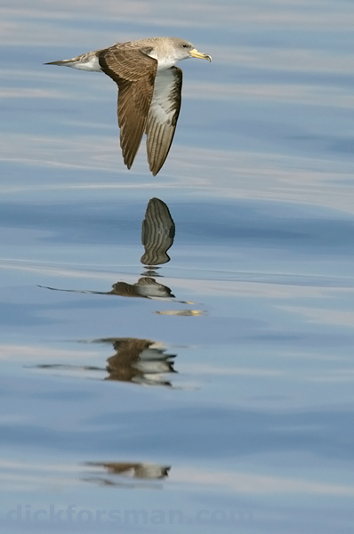 Cory's Shearwater photographed during a whale-watching cruise in the Strait. The sea is rarely this flat in the Strait.