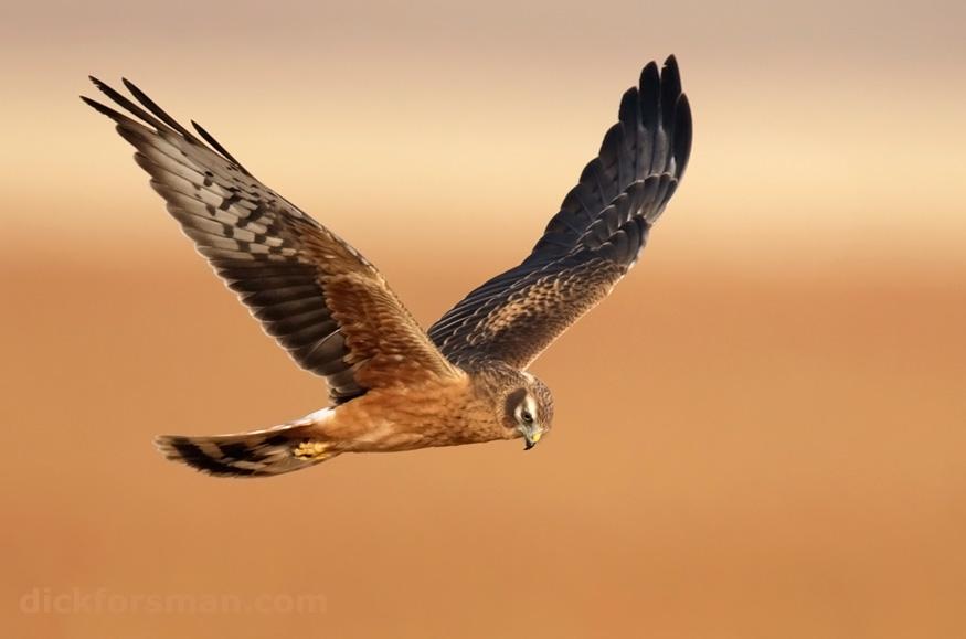 Juvenile Montagu's Harrier hunting near Facinas