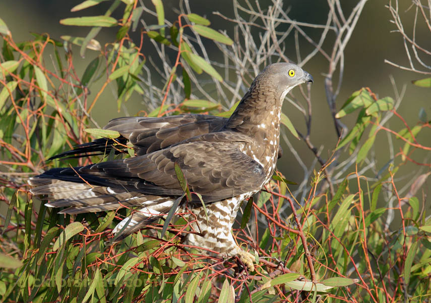 Adult male Honey-buzzard resting for a while before crossing the Strait