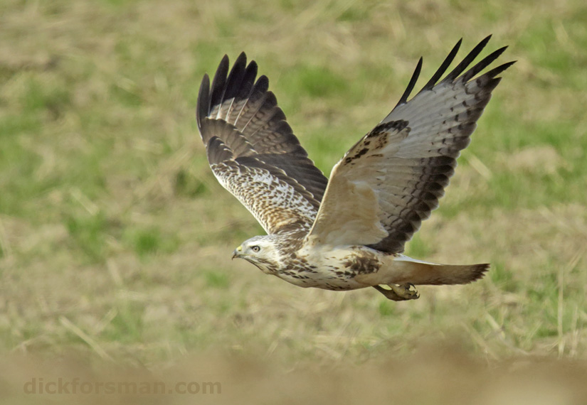 The pale phase of the Common Buzzard is common in southern Sweden.
