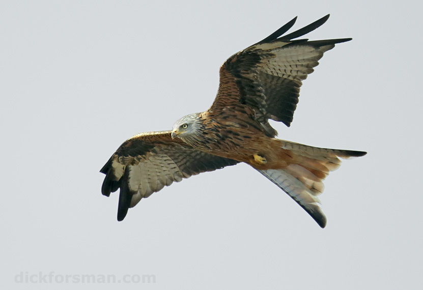 An adult Red Kite in flight