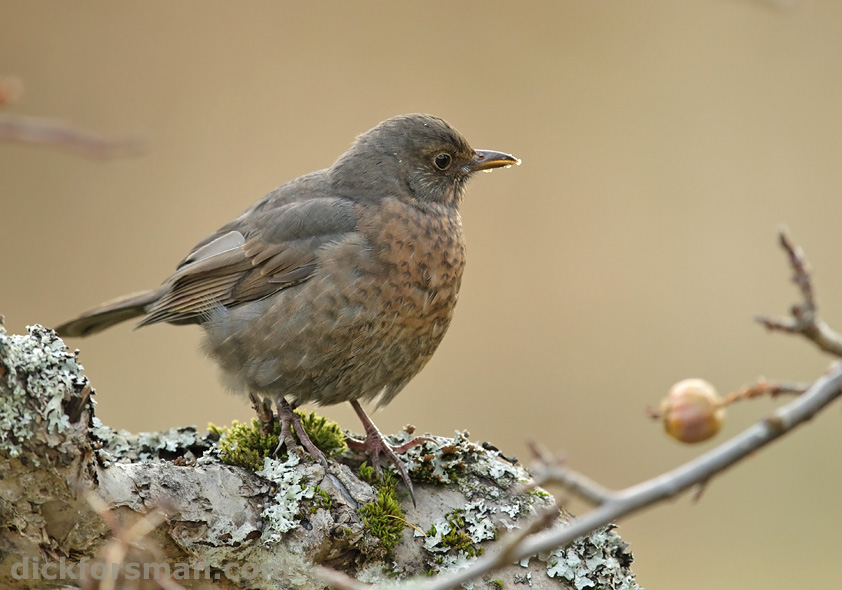 First-winter female Blackbird, a fresh arrival in my garden.