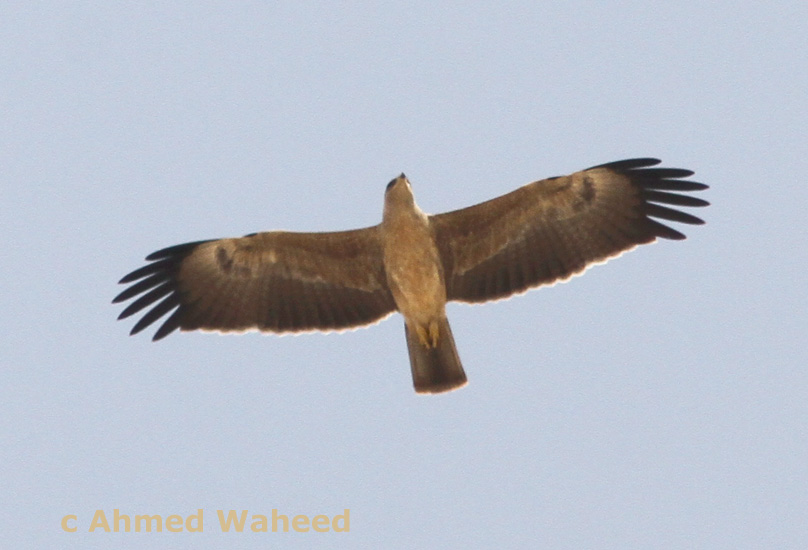 The same bird in flight. Note the very uniform appearance of this species with poorly defined barring of flight-feathers, with the diffuse lighter crescents at the base of the outer primaries being the only notable fieldmark.