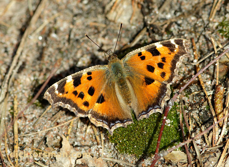 Two years ago there was less than 100 records of Y-l Tortoiseshells from Finland, but the last two summers have seen spectacular invasions of this species to the country. Last summer an estimated tens of thousands reached the country from early July onwards. It winters as a full-grown butterfly and there was some concern how they would manage the Finnish winter, but luckily the winter was a mild one. This spring Yellow-legged Tortoiseshell was the first butterfly to appear after the winter in Hanko, and for some weeks it was also the most numerous until Brimstone and Camberwell Beauty took over. This individual was photographed on the 8th of April basking in a sunny spot, when the temperature in shade was a mere 6 degrees centigrade. Hopes are high that the species will become the next addition to the country's butterfly fauna.