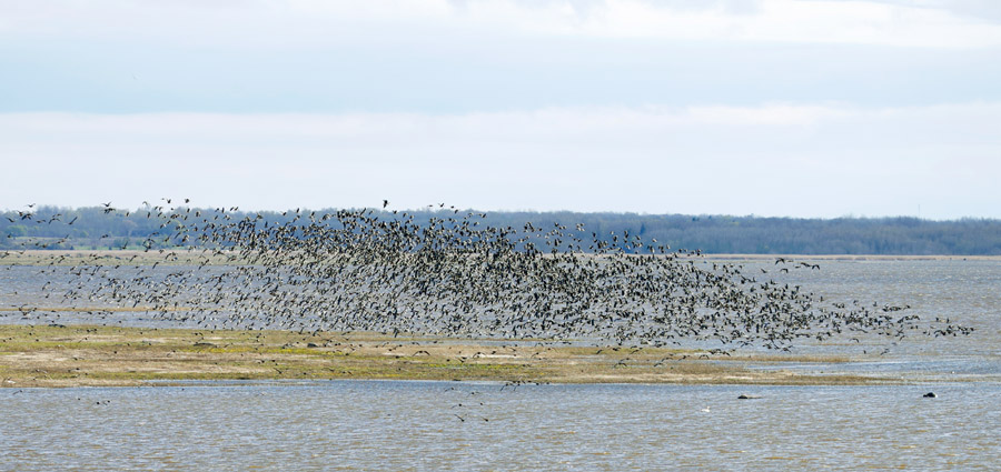 part of the 5000+ grey geese that were flushed by white-tailed eagles