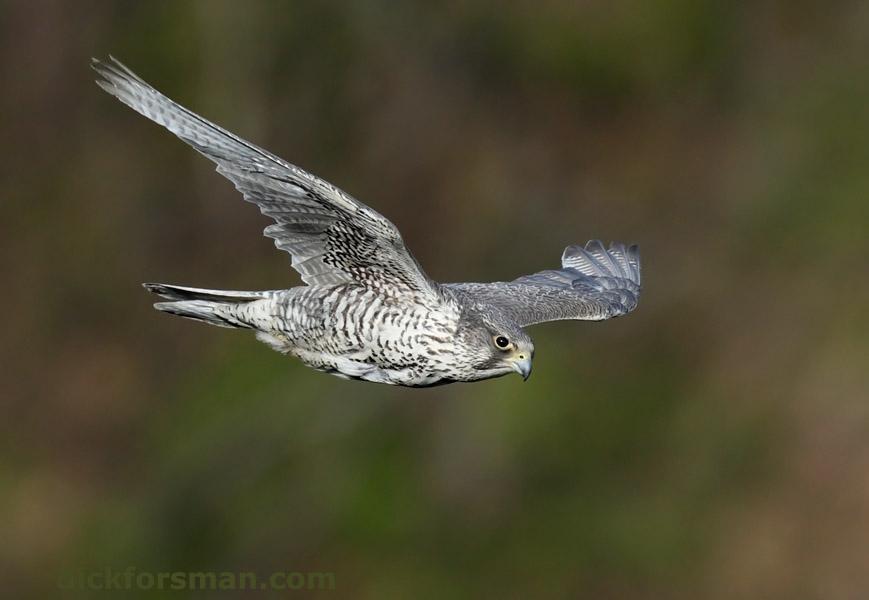 Adult Gyr Falcon