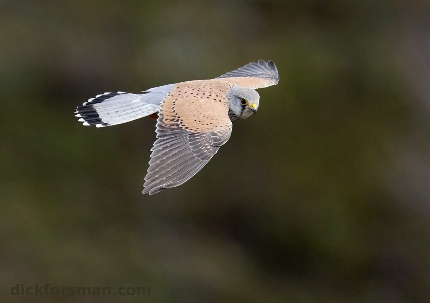 adult male Common Kestrel