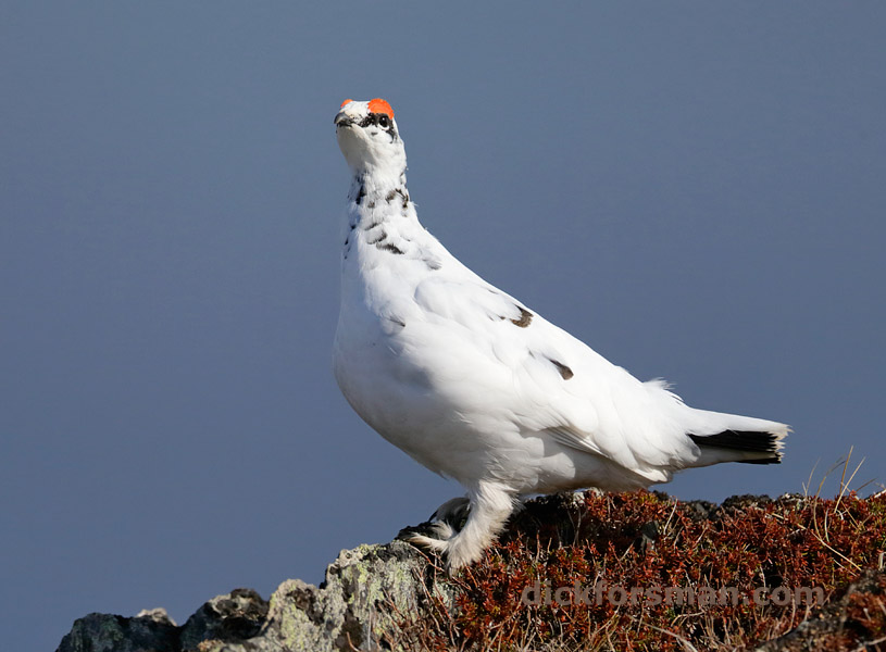 Male Rock Ptarmigan