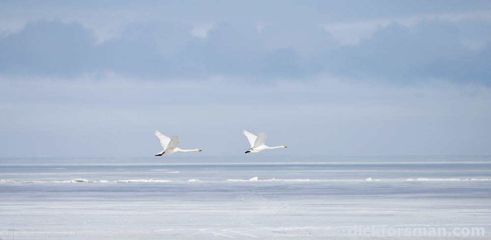 Northbound Whoopers over the frozen sea