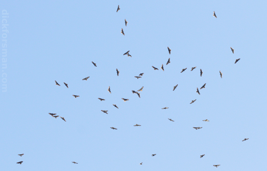 A few out of the 6000+ Common Buzzards seen on Oct 6th