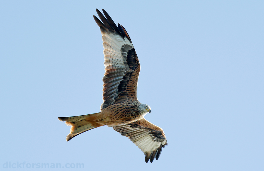 Adult Red Kite over Falsterbo
