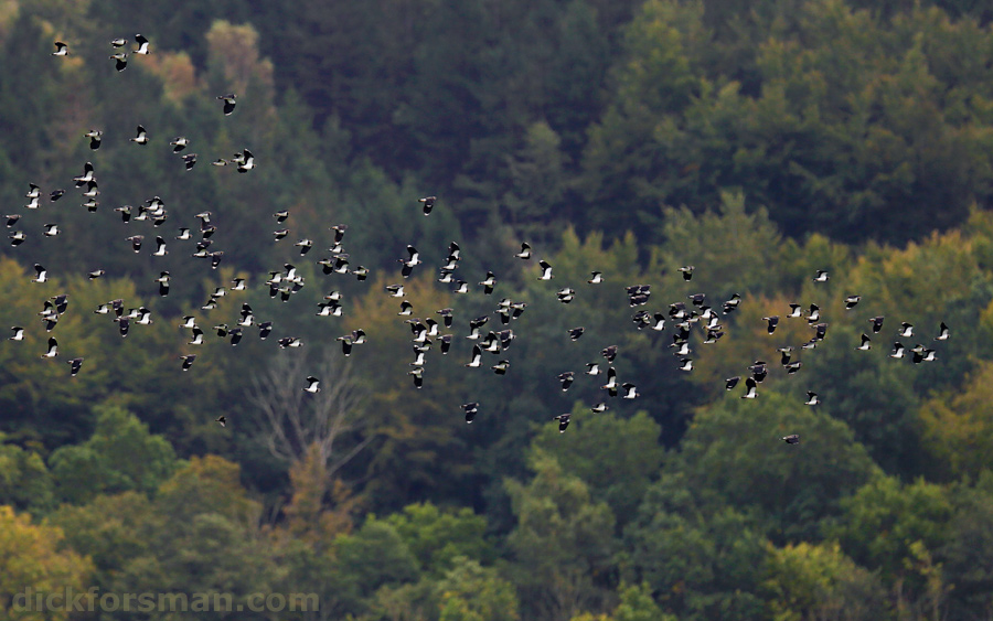 Flock of Lapwings moving between pastures