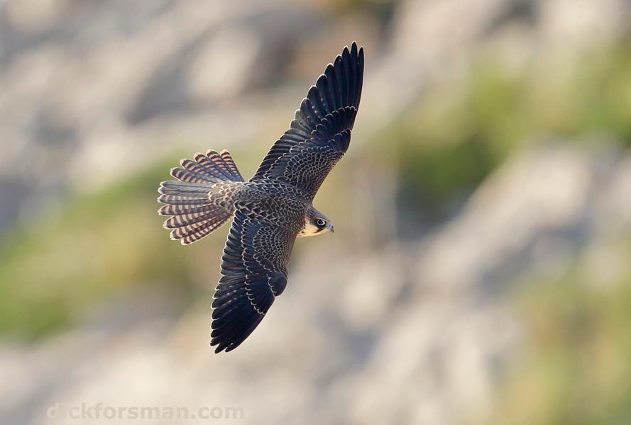 A juvenile Eleonora's Falcon practising its aerobatics near the eyrie